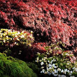 Maples and Rhododendrons by Tamsin Carlisle - Nature Up Close Trees & Bushes ( park, green, white, leaves, spring, maple, england, rhododendron, red, bushes, trees, flowers, springtime, garden,  )