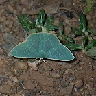 Moth emerald (Subfamily Geometrinae - Emeralds)