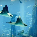 Cownose Eagle Ray