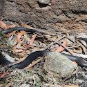 Red-bellied Black Snake (juvenile)
