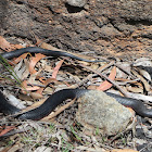 Red-bellied Black Snake (juvenile)