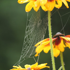 Morning Dew by Beth Legere - Nature Up Close Webs ( dew, spiderweb, web, morning )