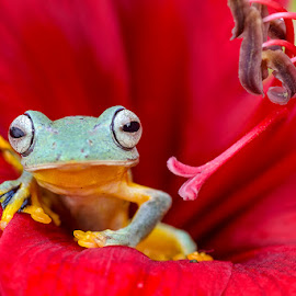 Red Carpet by Dikky Oesin - Animals Amphibians ( nature, frog, amphibian, flower, animal )