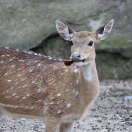 Deer by Dura Zaman - Animals Other Mammals ( zoo, national zoo malaysia, malaysia, mammal, deer,  )