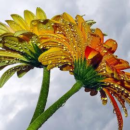 twoo gerbers by LADOCKi Elvira - Flowers Flower Arangements ( nature, color, flowers, garden )