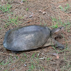 Florida Soft Shell turtle