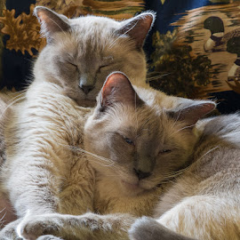 Ringo and Cisco by Charles Birch - Animals - Cats Portraits ( cats, sleeping, siamese cat, siamese, sleeping together, brothers )
