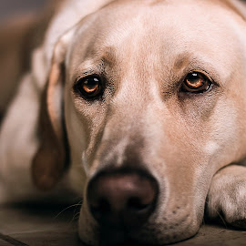Fire Eyes by Mason Bletscher - Animals - Dogs Portraits ( labrador retriever, animals, dogs, pet, pets, puppy, labrador, portraits, dog, lab )