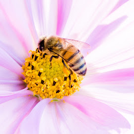 Bee on a cosmos by Timothy Miller - Animals Insects & Spiders ( macro, bee, cosmo, pink, insects, close up )