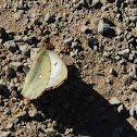 Orange Sulphur Skipper