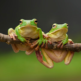 Green tree frogs by Dikky Oesin - Animals Reptiles ( water, frog, amphibian, reptile, animal )