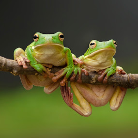 Green tree frogs by Dikky Oesin - Animals Reptiles ( water, frog, amphibian, reptile, animal,  )
