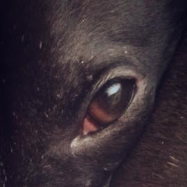 Greyhound Gaze by Laura Ofeno - Animals Other