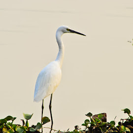 Standalone! by (GG) Girinath G - Animals Other ( bird, nature, wildlife, lake, nikon, lens, photography )