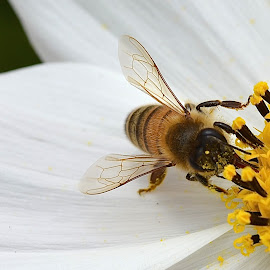 You Can Never Have Too Much Pollen by Ed Hanson - Animals Insects & Spiders ( macro, pollen, bee, white, yellow, flower )