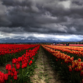 Ying and Yang by Clint Crawford - Landscapes Prairies, Meadows & Fields ( storms, tulips, flowers, spring, , Spring, springtime, outdoors, red, green )