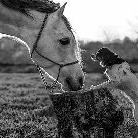 Friendship knows no bounds by Agnieszka Gulczyńska - Animals - Dogs Playing ( black and white, horse and dog, horse, friendship, dog, arabian stallion )