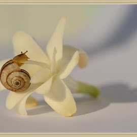The little one by Delia Cozma - Artistic Objects Still Life ( plant, indoor, tuberose, white, little, snail, shadows, flower, animal )