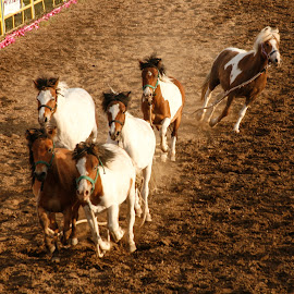 Wild Ponies by Mike O'Connor - Animals Horses ( wild, horses, ponies, rodeo, loose, escape,  )