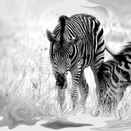 Zebra's by Amanda Coertze - Digital Art Animals ( digital art, zebra,  )
