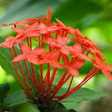 Flower of wild Ixora