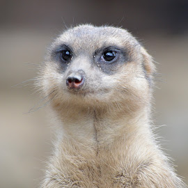 Smiling Meerkat. by Dorothy Thomson - Animals Other Mammals ( scotland, edinburgh, zoo, meerkat )