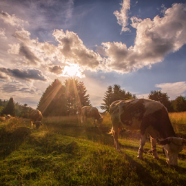 Cows in summer time by Stanislav Horacek - Landscapes Prairies, Meadows & Fields