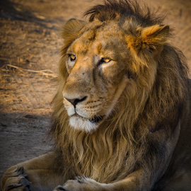 The Royal Look by Ravindra Tanwar - Animals Lions, Tigers & Big Cats ( lion, gir forest, asiatic lion, indian )