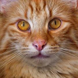 CloseUp by Sheila Marques - Animals - Cats Portraits ( #cats, #catcloseup, #cat, #norwegianforestcat,  )