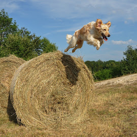 Jumping by Dubravka Krickic - Animals - Dogs Playing ( playing, action, summer, haystack, dog, cute dog, jump,  )