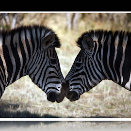 by Elna Fourie - Animals Other ( zebula, animals, south africa, zebra, game reserve )