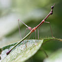 Jumping-stick grasshopper