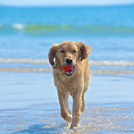 Golden Sunlight... by Martha Pope - Animals - Dogs Running ( shelter, foster, rescue, puppy, ocean, beach, dog, golden retriever )