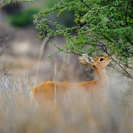 Steenbok by Charel Schreuder - Animals Other ( photo sales, steenbok, south africa, googlephotographer, martial eagle, kgalagadi transfrontier park, kalahari, charel schreuder )