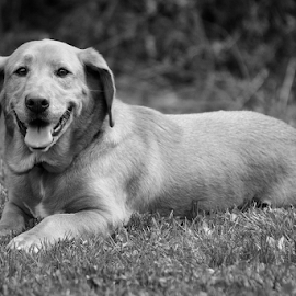Janis by Anna Molly - Animals - Dogs Portraits ( janis, canine, black and white, basset hound, dog )