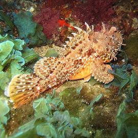 /.(Sigacik) by Yildirim Gencoglu - Animals Fish ( iskorpit, scorpionfish, Underwatersphotography, Underwater, dive, Scuba, igersturkiye, instagood, me, igers )