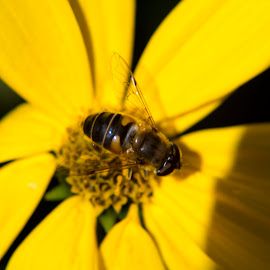 Bee on Yellow Flower #1 by John Cope - Nature Up Close Other Natural Objects ( bee, flower head, yellow, yellow flower )