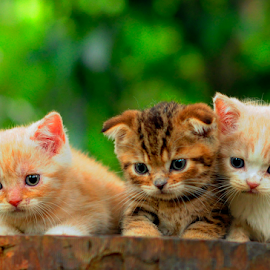 by Cacang Effendi - Animals - Cats Kittens ( cats, kitten, cattery, chandra, animal )
