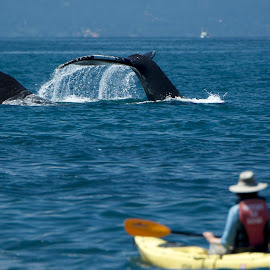 Humpback Whale tails by Wade Tregaskis - Animals Sea Creatures ( humpback, kayaker, tails, whale tail, whale, tail )