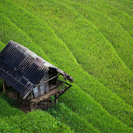 Padi Field by Joyce Chang - Landscapes Prairies, Meadows & Fields ( rice, hut, padi, asia, vietnam,  )