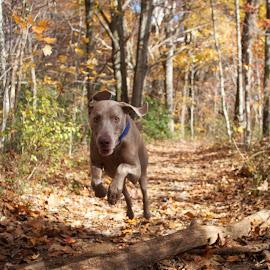 Rocky Jumping by Rachael Hunker - Animals - Dogs Running ( weimaraner, autumn, fall, dog jumping, forest, dog, big dog, weim )