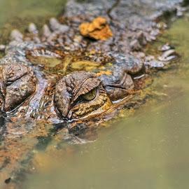 Buaya KalBar by Hendri  kus - Animals Reptiles ( #photography )