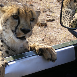 Can I get a lift Please by Liselle Mostert - Novices Only Wildlife ( spots, wild, cheetah, nature, wildlife, markings,  )