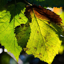 Backlighting by Cory Bohnenkamp - Nature Up Close Leaves & Grasses ( green, sunlight, backlighting, leaves, veins )