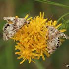Small moth