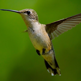 It's Me Again. by Roy Walter - Animals Birds ( flight, animals, wings, hummingbird, wildlife, feathers, birds )