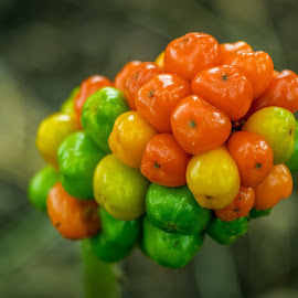 Berries by Simon Forster - Nature Up Close Other plants ( green, vivid, yellow, ornage, berries,  )