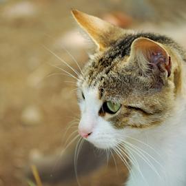 by Dorin Solomon - Animals - Cats Portraits ( animals )