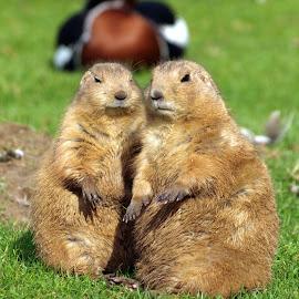 Mr & Mrs by Garry Chisholm - Animals Other Mammals ( garry chisholm, nature, wildlife, rodent, dog, prairie )