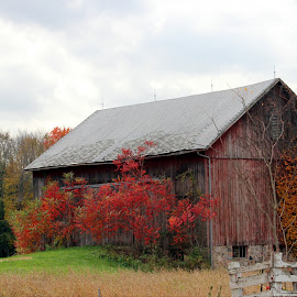 Ye Old Barn by Jesse Davis - Buildings & Architecture Other Exteriors ( farm, fall colors, barn, beautiful, leaves, fall, color, colorful, nature )